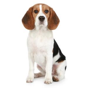 Rasbeskrivning Beagle