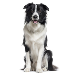 Rasbeskrivning Border collie