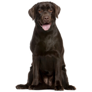 Rasbeskrivning Labrador retriever