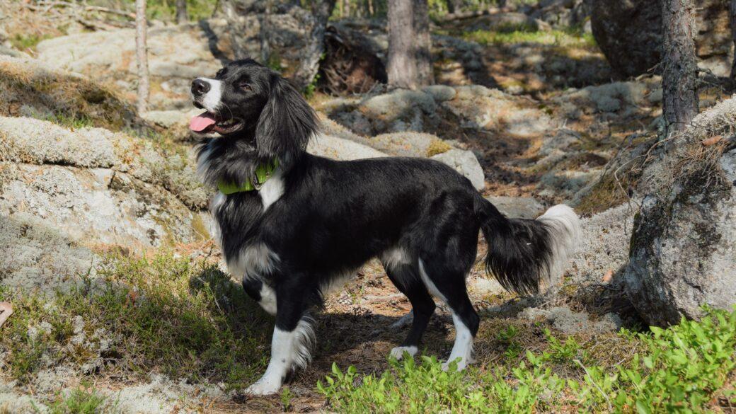 Rasbeskrivningar för mellanstora hundar