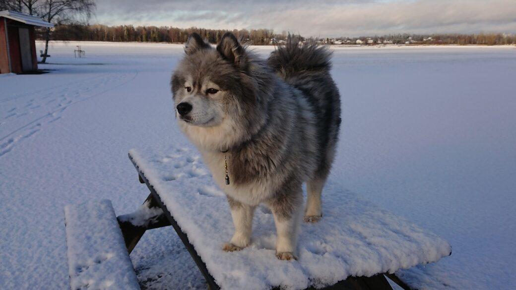 Rasbeskrivningar för polarhundar