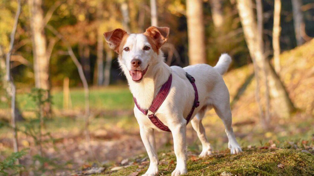 Rasbeskrivningar för små hundar