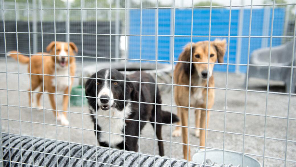 Vill du volontärarbeta med hemlösa hundar på Irland?